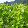 桑の葉茶の効能で健康的にダイエット!いいこと尽くしの健康茶ですのサムネイル画像