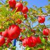 身体に良いと言われる「リンゴ」  カロリーと栄養・効能をご紹介!のサムネイル画像