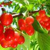 赤い宝石♪丸くてかわいいさくらんぼの栄養とその栄養効果を徹底調査のサムネイル画像