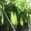 暑い夏を吹き飛ばすパワー!さっぱり夏野菜「へちま」のレシピのサムネイル画像