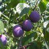 カリフォルニア生まれの健康果実プルーンを使ったおすすめレシピ5選のサムネイル画像
