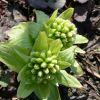 春を感じる食材 ふきのとうのアク抜きは?下ごしらえの仕方のサムネイル画像